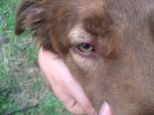 Poor Lenny got attacked by blackflies!